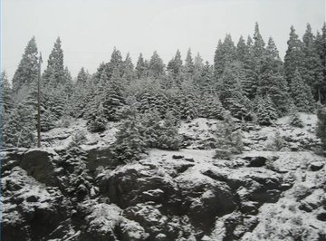 Trees can help prevent avalanches