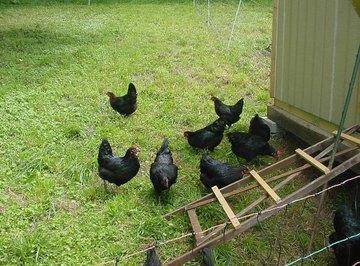 Black Star Chicken Information