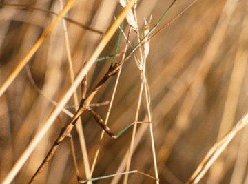 Walking sticks hide easily among grass and plants.