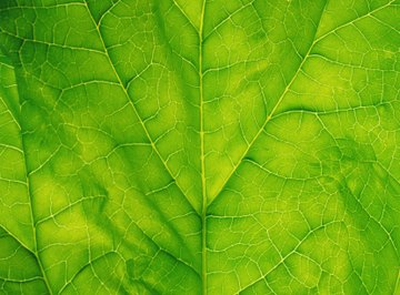 Spinach leaves contain chlorophyll, carotenoids and other pigments.