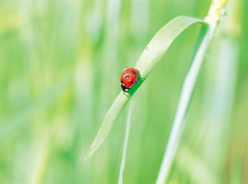 Gardens have an ample supply of ladybug food.