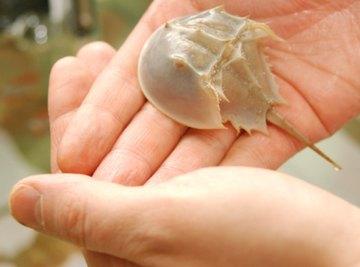 A horseshoe crab has blue blood.