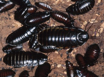 Cockroaches are tough, adaptable insects, able to survive without food for a month.