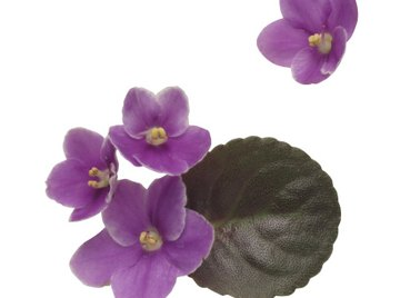 The African violet is capable of reproducing through leaf cuttings.