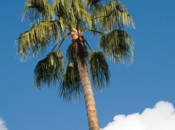 Palm trees have rough trunks.