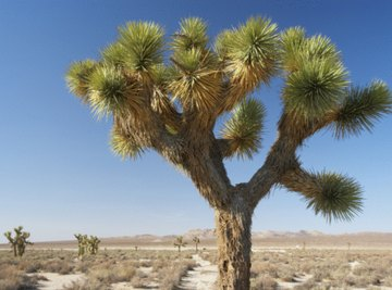 Endemic to the California desert, the Joshua tree is one of its most characteristic plants.