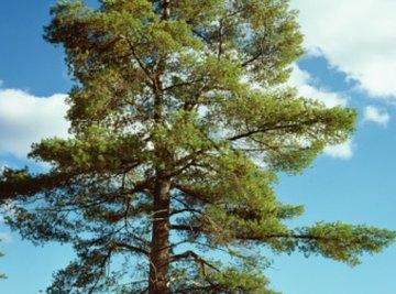 Many pine tree species do not grow well without mycorrhizae fungus.