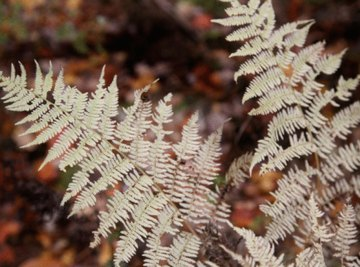 Ferns and conifers are members of different phyla.