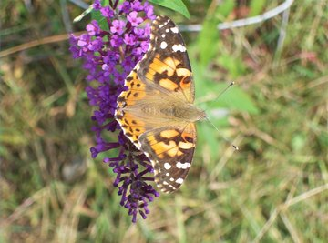 Life Cycle of a Painted Lady Butterfly