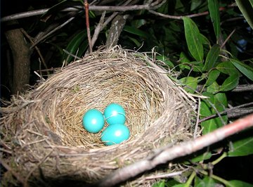 How Long Does it Take for Robin Eggs to Hatch