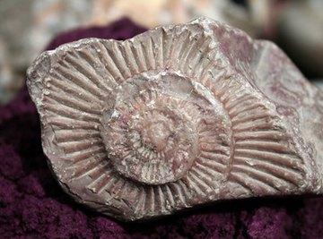 Idaho's ancient shallow sea provides many ammonite fossils.