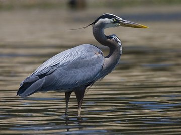 Is the Great Blue Heron an Endangered Species?