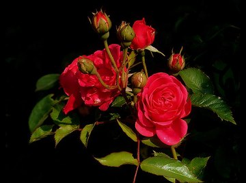 What is the Difference Between a Rose & a Flower?