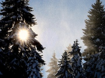 Photosynthesis in Pine Trees