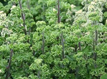 The Effect of Excess Iron in Plants