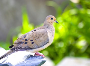How to Build a Bird House for a Mourning Dove
