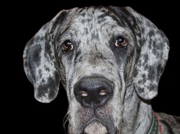 The Great Dane is a popular breed of dog in America.
