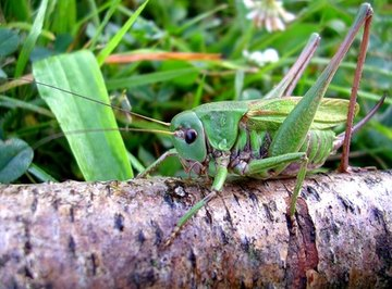 What Are the Characteristics of Grasshoppers?