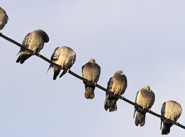 Why Do Birds Sit on Electrical Wires?