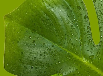 Plants lose water through a process called transpiration