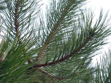 Facts About Pine Needles