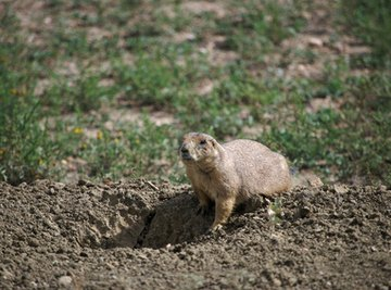 How to Identify Utah Rodents
