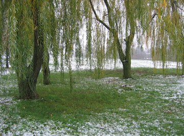 Willow trees have an unusual method of reproduction.