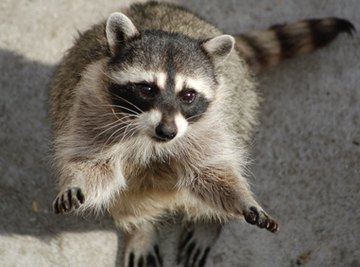 How Do Raccoons Mark Territory?