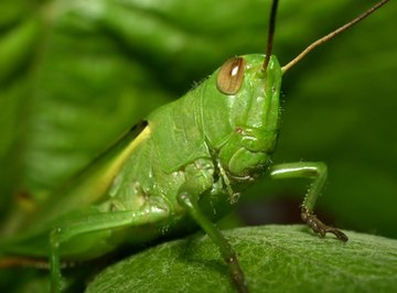 Structure of Grasshoppers