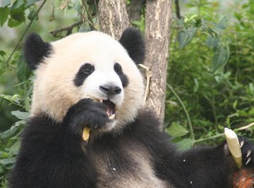 The Complete Life Cycle of the Giant Panda