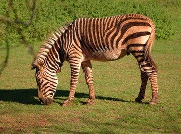 Zebra Breeding Facts