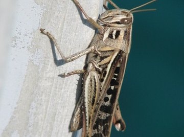 Crickets chirp to attract a mate.