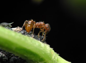 Ant colonies derive from fertile queens.