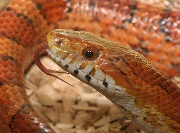 Snake Allergies