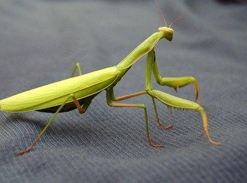 How to Make a Model of a Praying Mantis