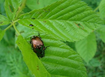 June bugs are nocturnal and feed on foliage.