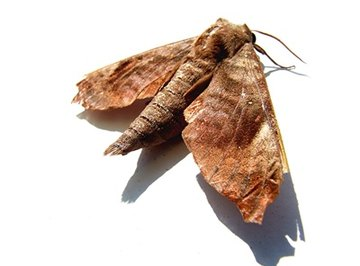 Brown house moths are pests.