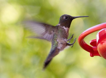 How to Track a Hummingbird's Migration