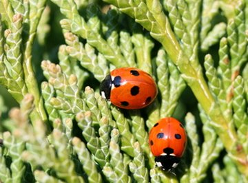 What Types of Ladybugs Are There?