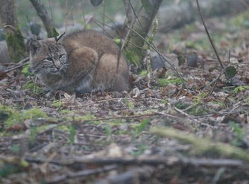 What Are the Bobcat's Enemies?