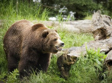 The Life Cycle of Grizzly Bears