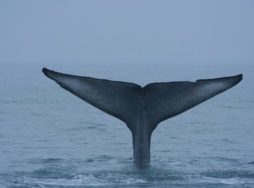 Blue whale's tail