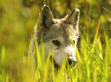Interesting Facts About Baby Wolves