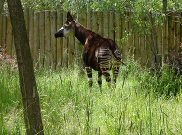 Life Cycle of the Okapi