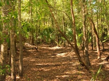 Spodosols are acid soils that occur primarily underneath forest.