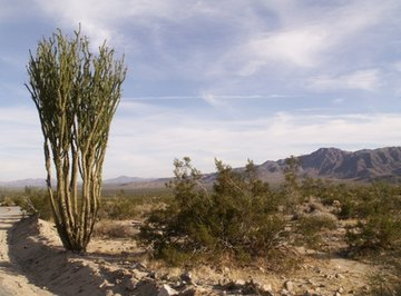 Plants in the desert have long roots to gather water from deep under the soil.