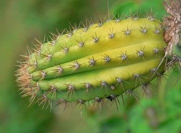 By losing its leaves, the cactus gained many advantages for desert survival.