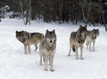 A pack of wolves standing in the snow near a forest.