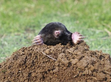 Moles are among the animals who dig at night.