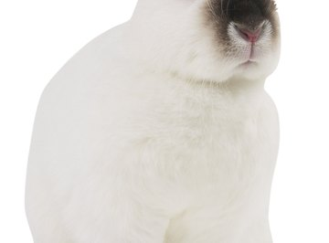 The dark fur on the Himalayan rabbit only grows on its extremities, because its expression is influenced by temperature.